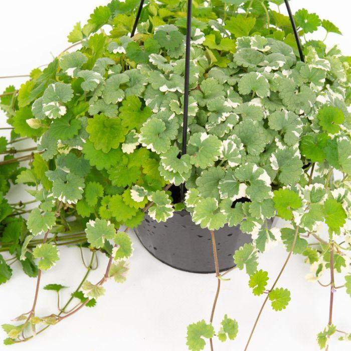 Glechoma hederacea Variegated Hanging Basket  ] 9005220017 - Flower Power