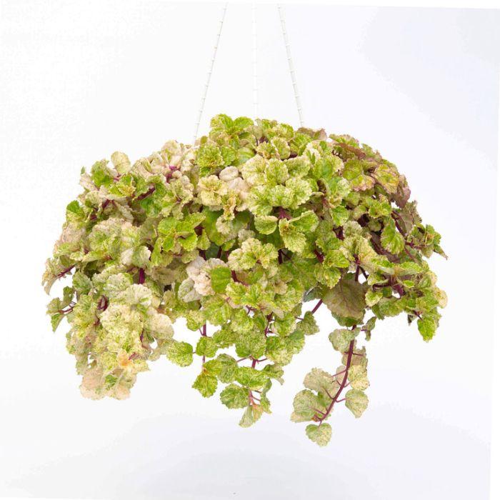 Plectranthus Hanging Basket  ] 9005240020P - Flower Power