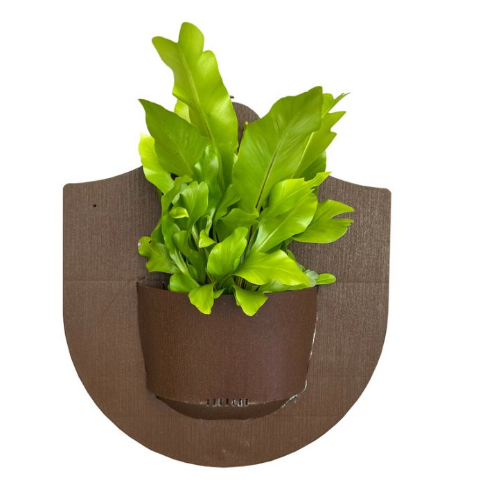 Asplenium fern on Board  ] 9006249999 - Flower Power