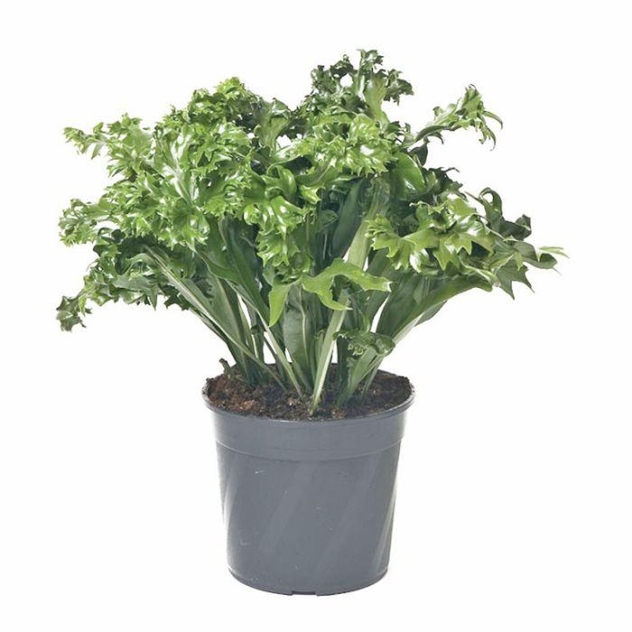 Microsorium Green Flame Hanging Basket  ] 9007200017 - Flower Power