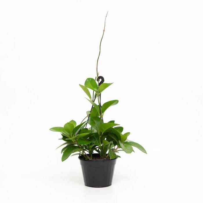 Hoya Pink Hanging Basket  ] 9011090017 - Flower Power