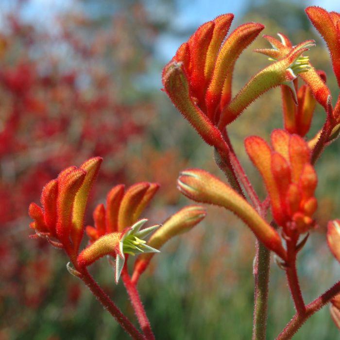 Anigozanthos Landscape Tangerine  ] 9011720200 - Flower Power