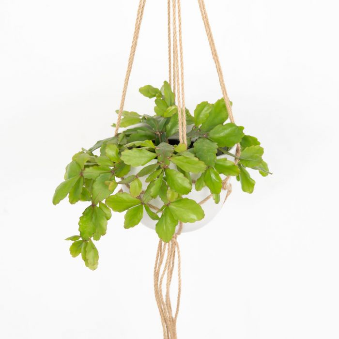 Rhipsalis ramulosa Hanging Basket  ] 9012410014P - Flower Power