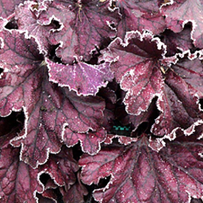 Heuchera Forever Purple  ] 9013490140 - Flower Power