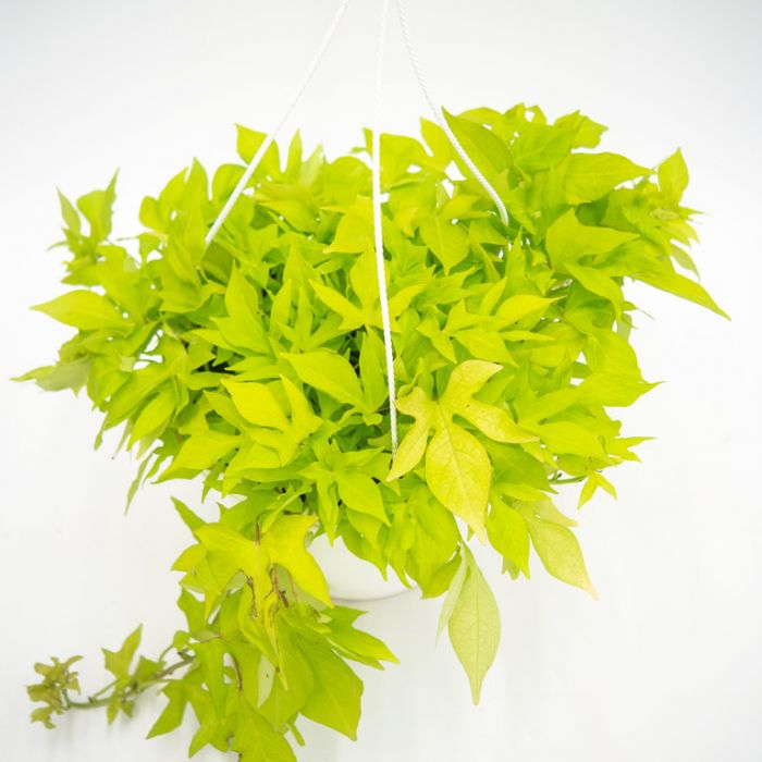 Ipomoea 'Bright Ideas Lime' Hanging Basket  ] 9014330030P - Flower Power