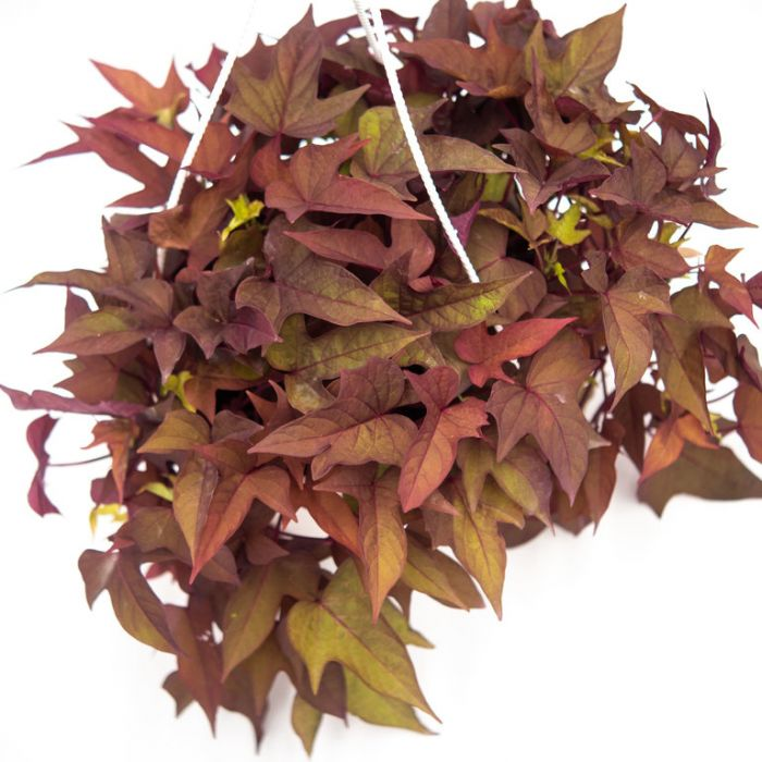 Ipomoea 'Bright Ideas Rusty Red' Hanging Basket  ] 9014340030P - Flower Power