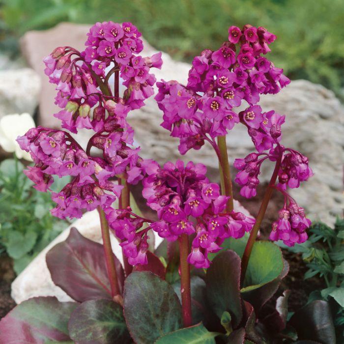 Bergenia Eroica  ] 9015250140 - Flower Power