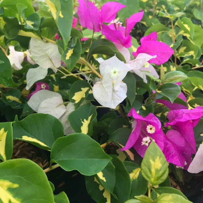 Bougainvillea Vicky  ] 9015570200 - Flower Power