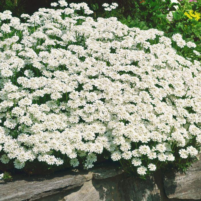 Iberis Candytuft  ] 9024980140P - Flower Power