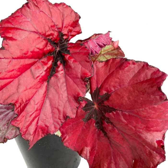 Begonia Ruby Slippers  ] 9025710140 - Flower Power