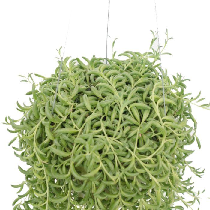 String of Bananas Hanging Basket  ] 9030660020P - Flower Power