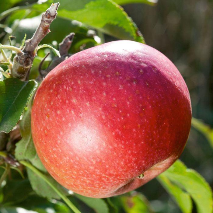 Apple Wandin Pride Weeping Standard  ] 9031880400P - Flower Power