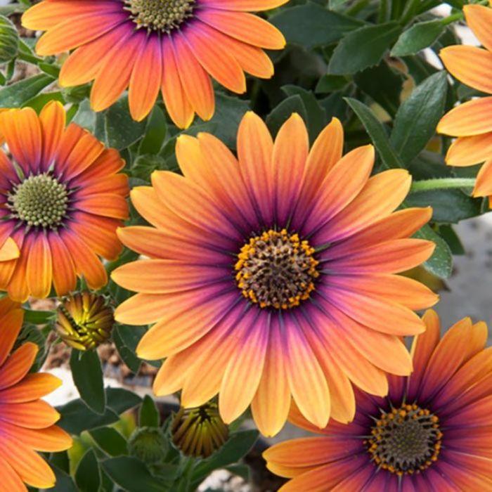 African Daisy Purple Sun  ] 9034430140 - Flower Power