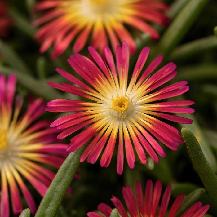 Delosperma Delmara Red  ] 9035220140 - Flower Power
