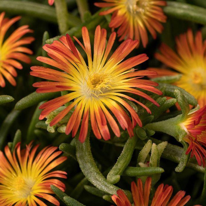 Delosperma Delmara Orange  ] 9035230140 - Flower Power