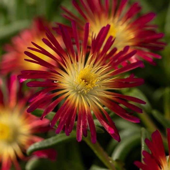 Delosperma Delmara Fuchsia  ] 9035250140 - Flower Power