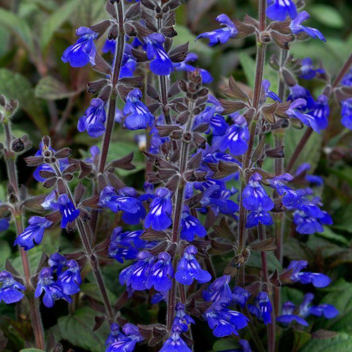 Salvia Aztec Blue  ] 9313208011480 - Flower Power