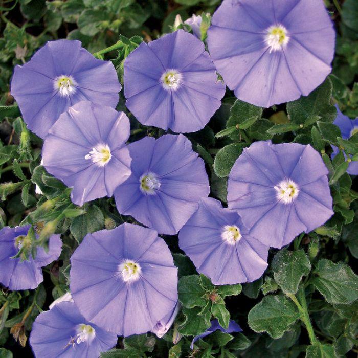 Convolvulus Moroccan Beauty  ] 9313208015181 - Flower Power