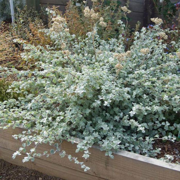 Helichrysum Licorice  ] 9313208016454 - Flower Power