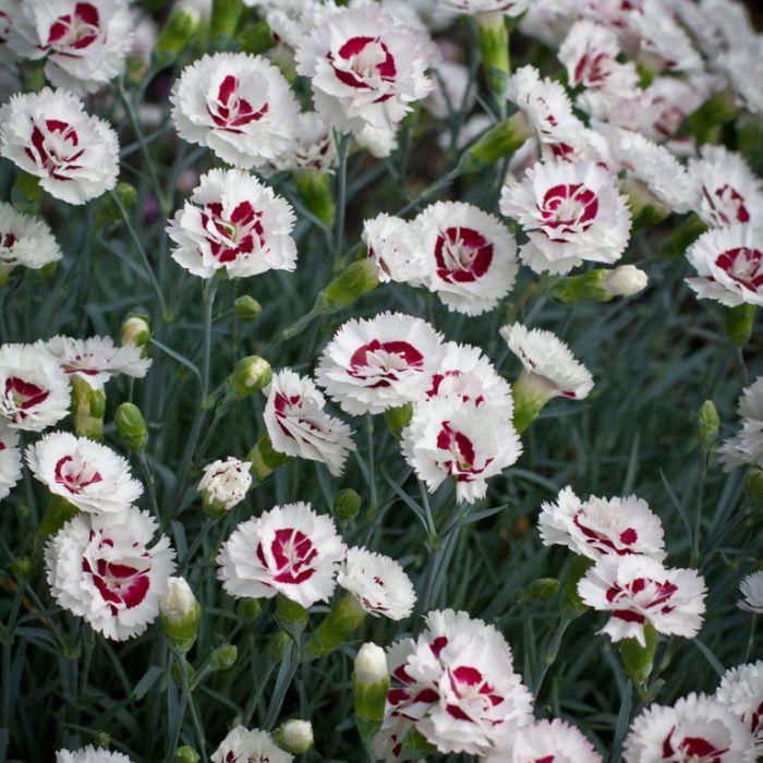 Dianthus Coconut Sundae  ] 9313208024398P - Flower Power