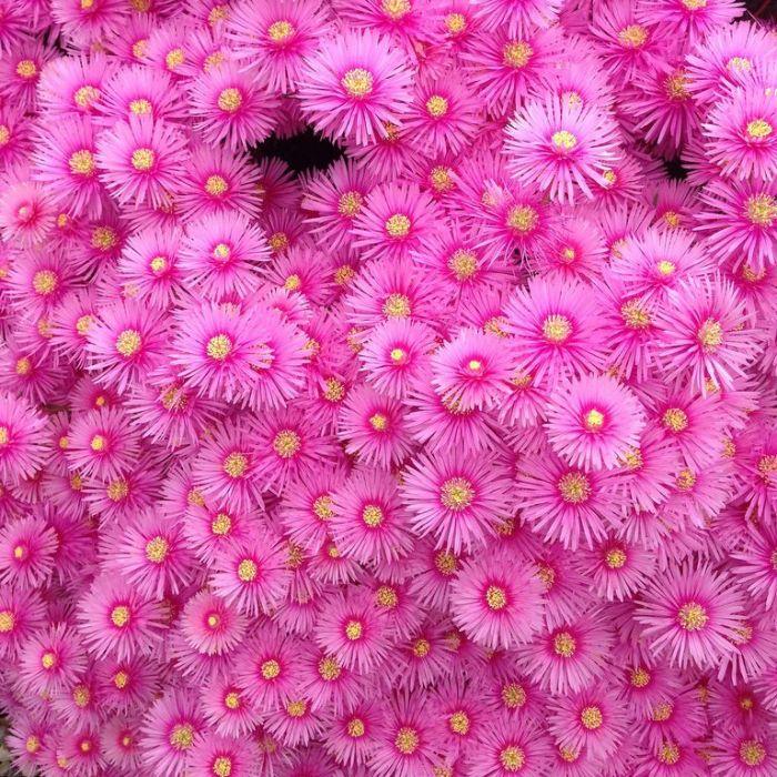 Lampranthus Pink Explosion  ] 9313208054098 - Flower Power