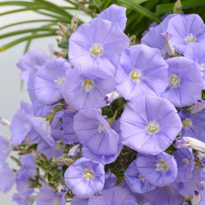 Convolvulus Lilac Moon  ] 9313208054104 - Flower Power