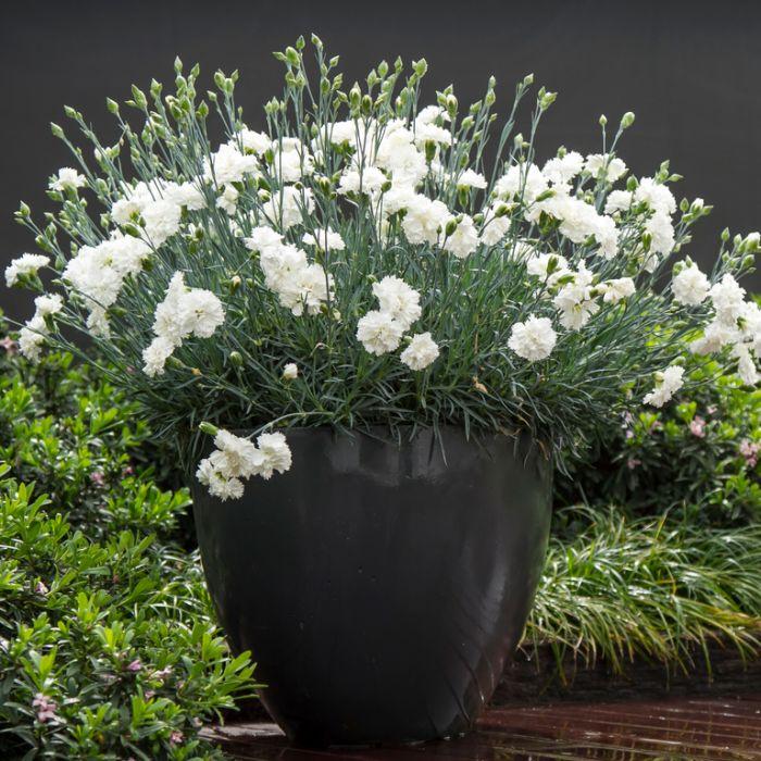 Dianthus Memories  ] 9313208054227P - Flower Power