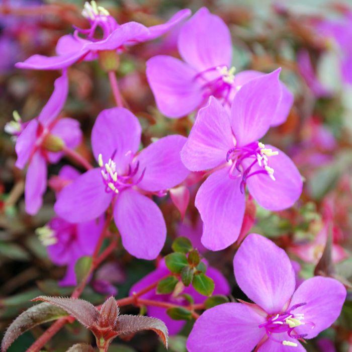 Centradenia Cascade Purple  ] 9313208566874 - Flower Power