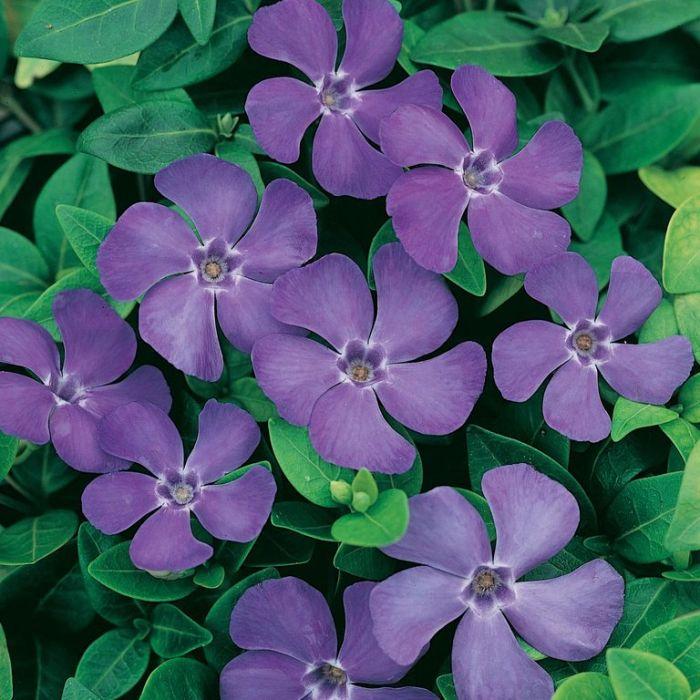 Vinca Darts Blue  ] 9313208567970 - Flower Power