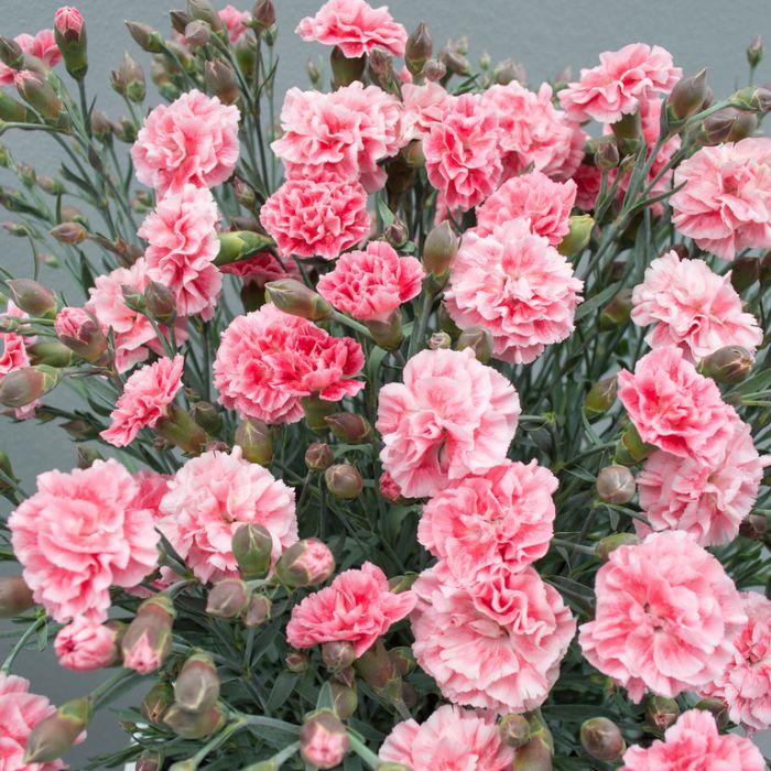 Dianthus Sugar Plum Coral  ] 9313208569790 - Flower Power