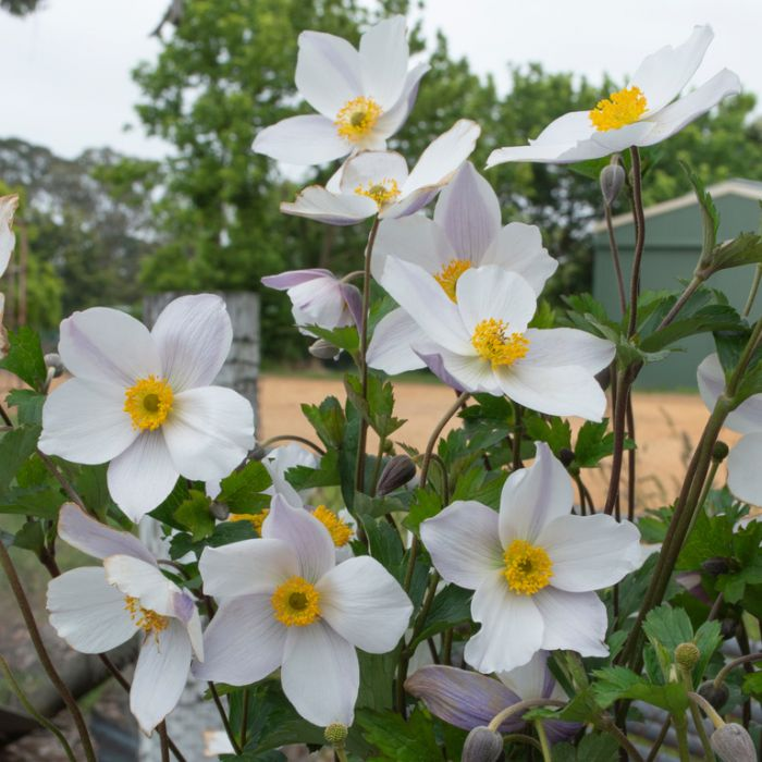 Anemone Elfin Swan  ] 9313208575388 - Flower Power