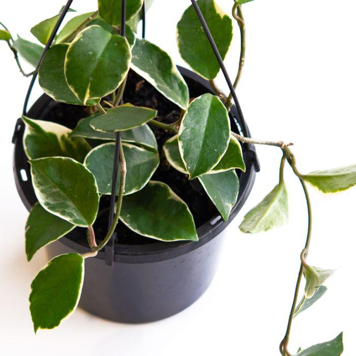 Hoya 'Krimson Queen' Hanging Basket  ] 9313598102669 - Flower Power