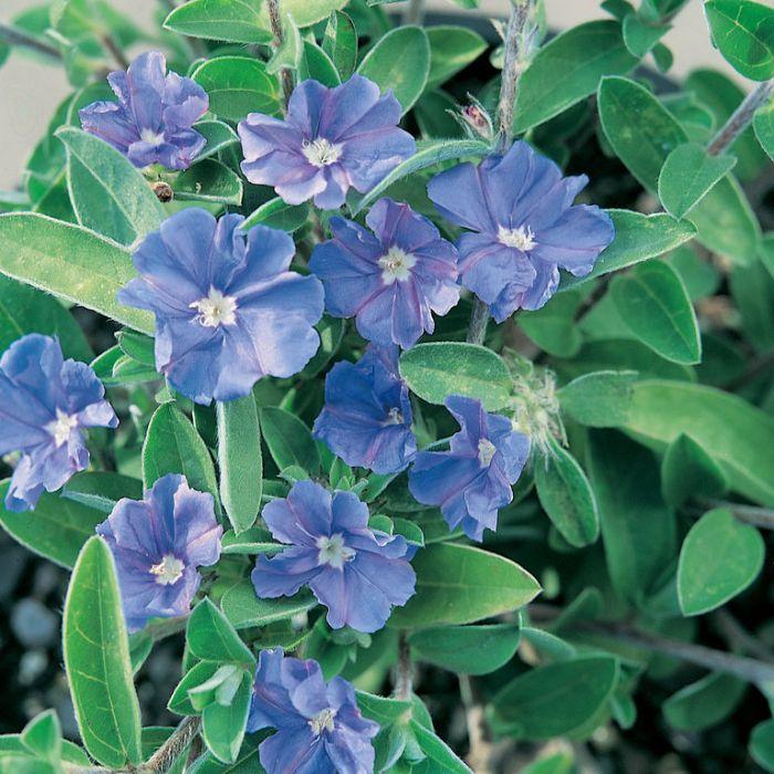 Evolvulus Blue My Mind  ] 9313598108111 - Flower Power