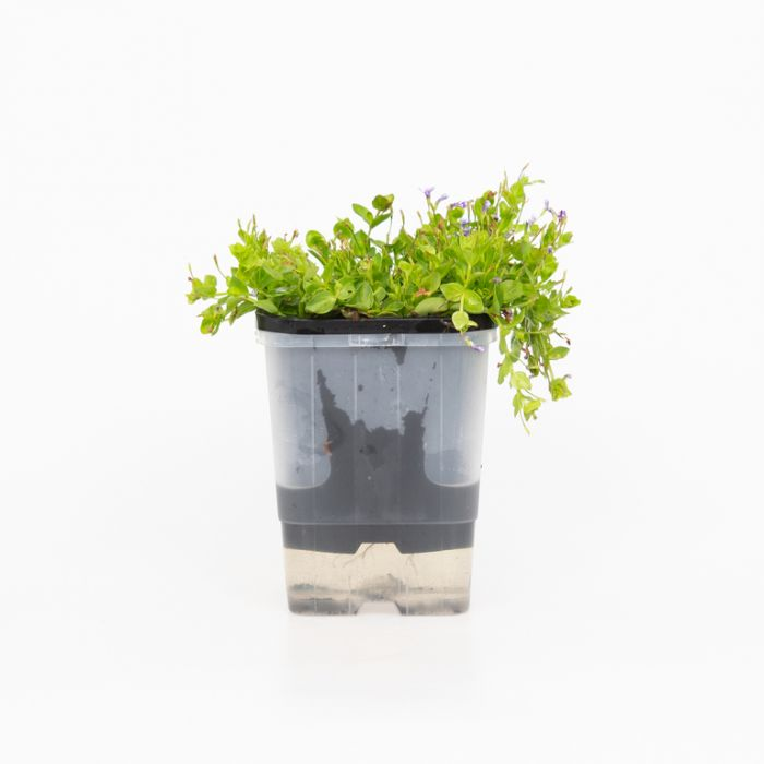 Lindernia grandiflora  ] 9314842002360 - Flower Power