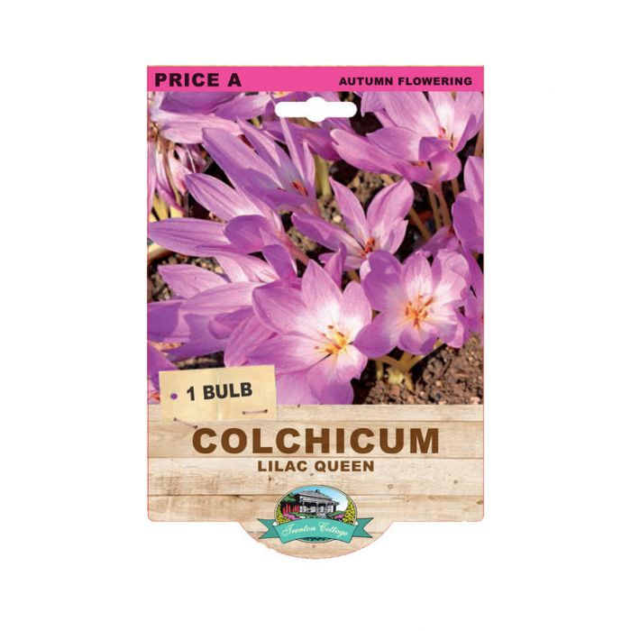 Colchicum Lilac Queen  ] 9315774074272 - Flower Power