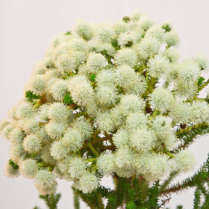Buttonbush Snow  ] 9317024008075 - Flower Power