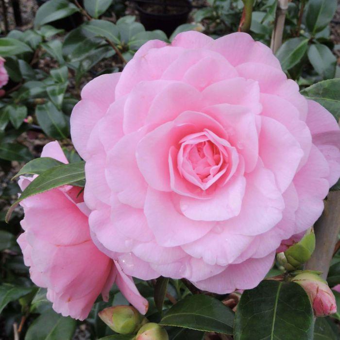 Camellia hybrid Betty Ridley  ] 9317120000263P - Flower Power