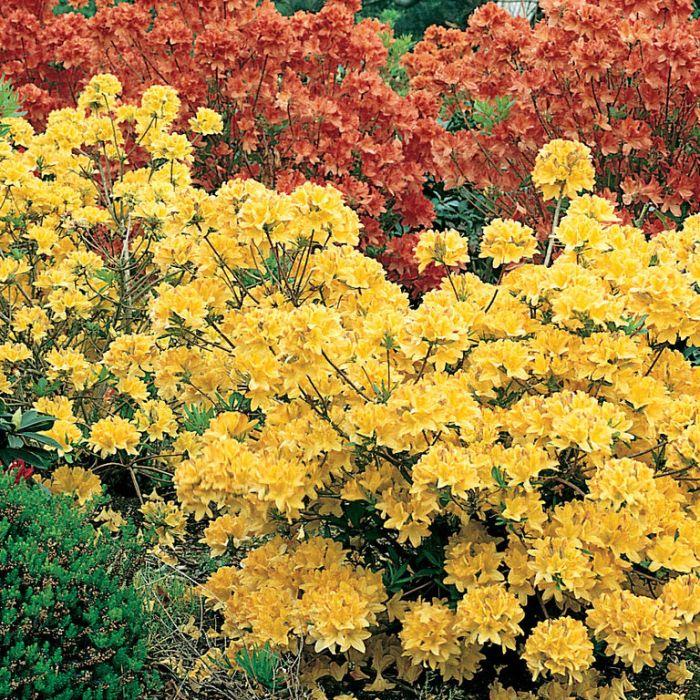 Azalea Mollis Assorted  ] 9317120000980 - Flower Power