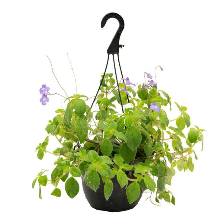 Nodding Violet Hanging Basket  ] 9317182007996 - Flower Power