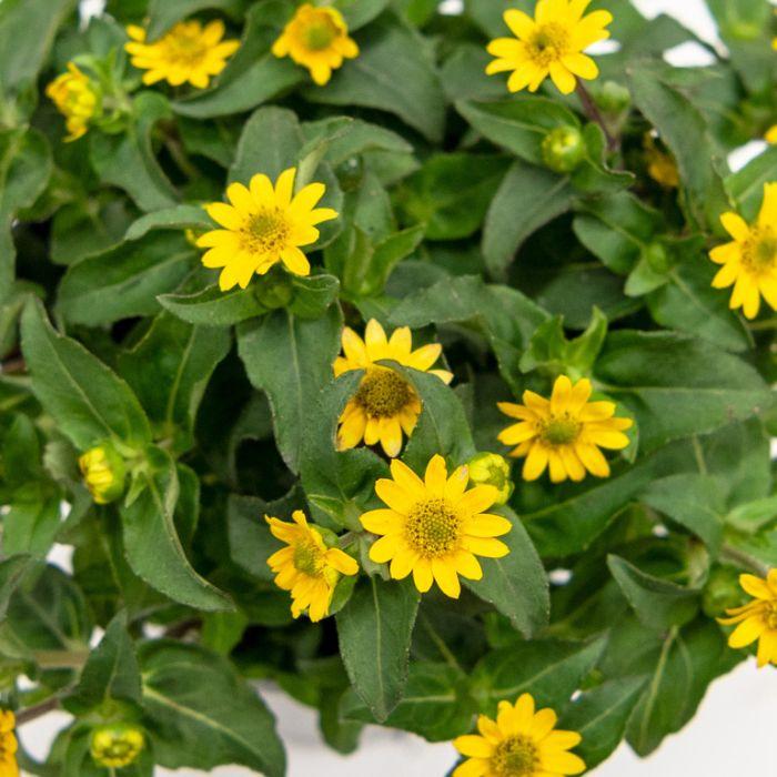 Sanvitalia  ] 9317182012365 - Flower Power
