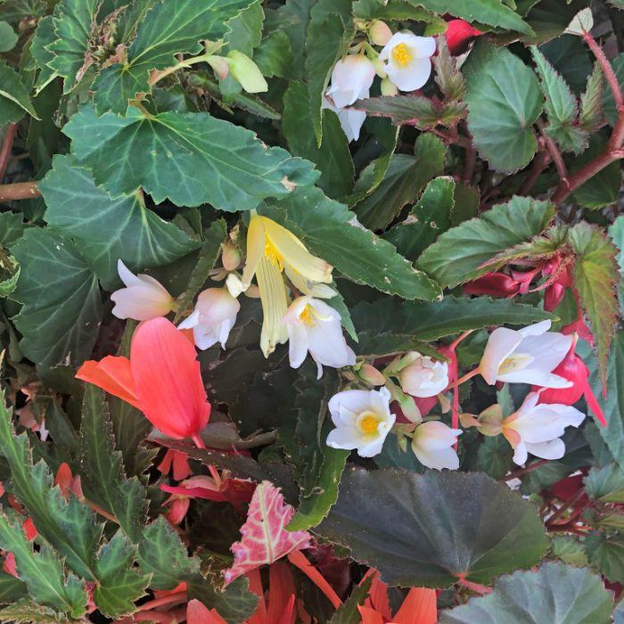 Begonia Summerwings Hanging Basket  ] 9317182014000 - Flower Power