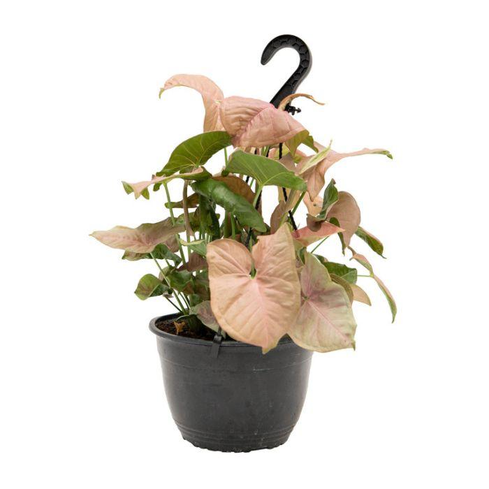 Syngonium Hanging Basket  ] 9317182019876P - Flower Power