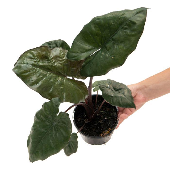 Alocasia YucatanPrincess  ] 9317182031762P - Flower Power