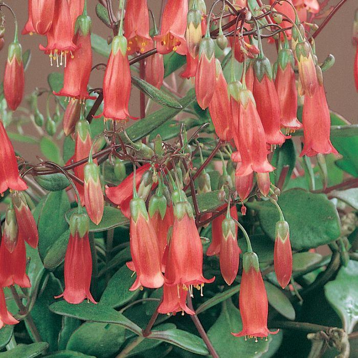 Kalanchoe Freedom Bells Hanging Basket  ] 9317249000014 - Flower Power