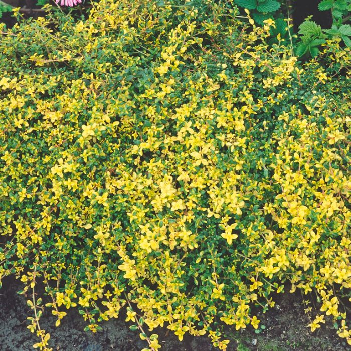 Thyme Creeping Doone Valley  ] 9317759002621 - Flower Power