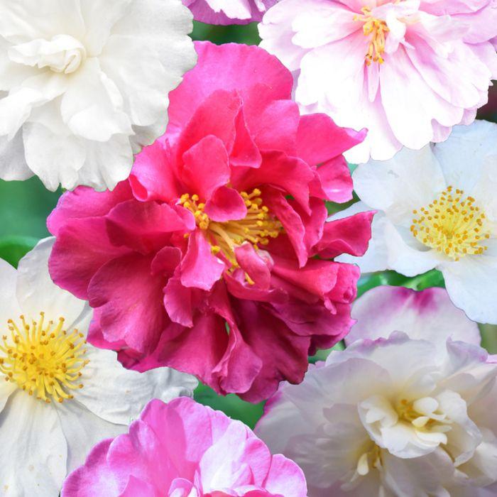 Camellia Sasanqua Assorted  ] 9319585003018P - Flower Power