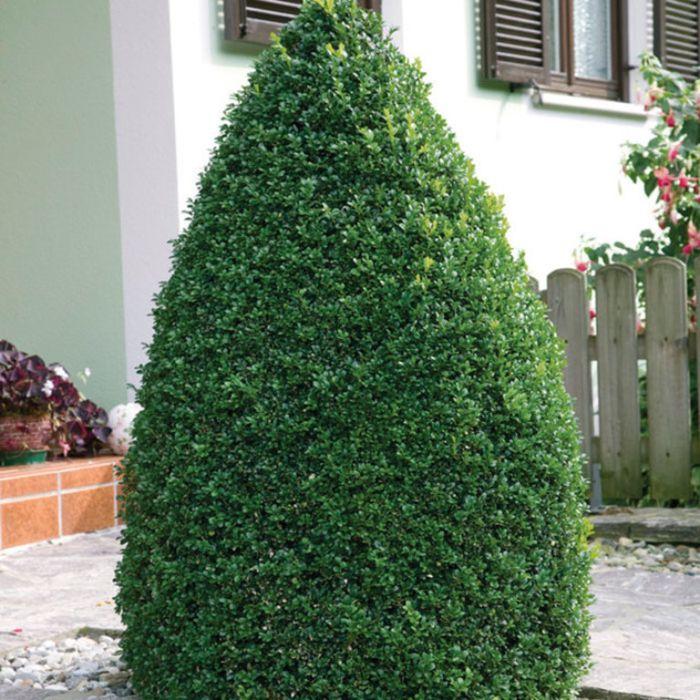 English Box Topiary Ball  ] 9319585011563P - Flower Power