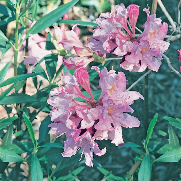 Azalea Candy Stripe  ] 9319585046282P - Flower Power