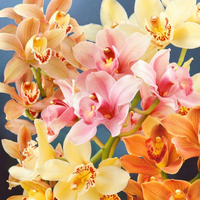 Cymbidium 3 Spike Orchid  ] 9319620000026P - Flower Power