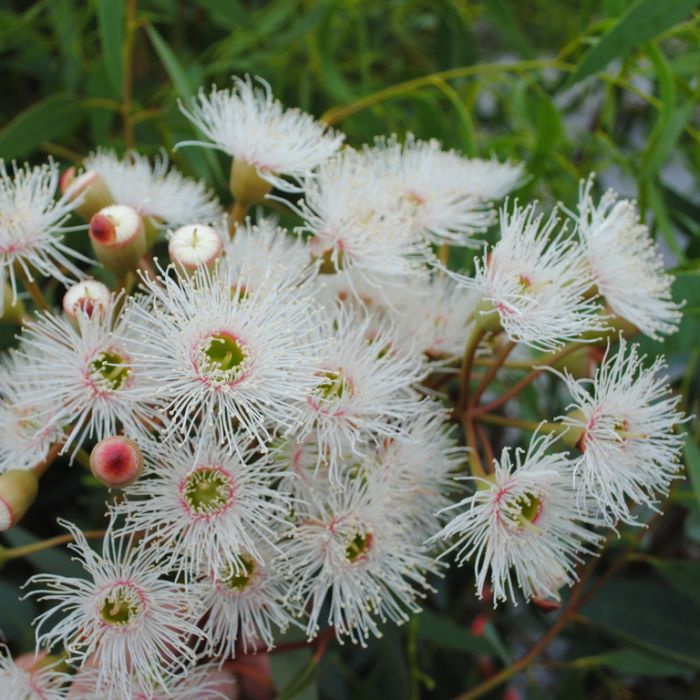 Flowering Gum Snowflake  ] 9319762000281 - Flower Power